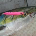 「大型真鯛」と「ブリ」が入り乱れ!? 私の地元「福井県三国沖」の春ジギングをご紹介