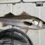 【コラム】魚がスレるってどういうこと? スレに関する論文をまとめてみた!