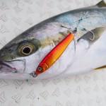 魚の熟成検証① 釣り魚(ブリ・ヒラマサ・根魚・真鯛)寝かせる期間アンケート