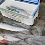 魚を入れた袋を結ぶ時にも便利!輪ゴムを使った「液漏れしない」ビニール袋の結び方