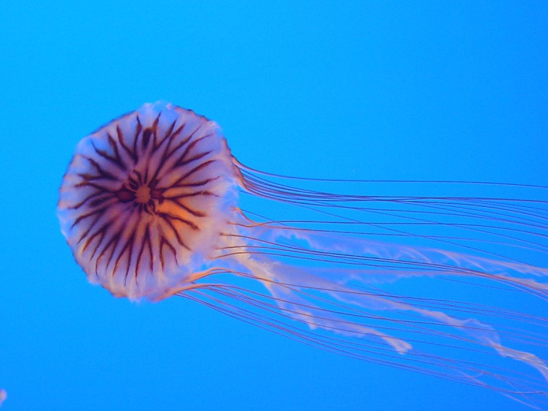Chrysaora_hysoscella_from_Enoshima_Aquarium[1]