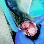 神経締めとか、釣った魚の処理をどこまでしてる?魚の絞め方アンケート